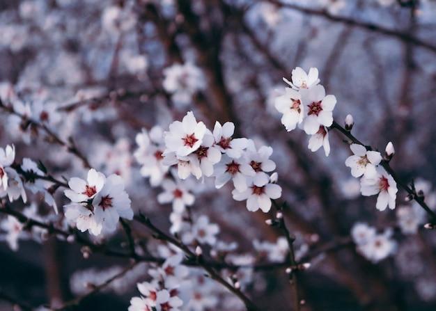 Primer plano de una hermosa flor de cerezo bajo la luz del sol
