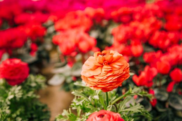 Primer plano de la hermosa flor de la maravilla contra el fondo borroso