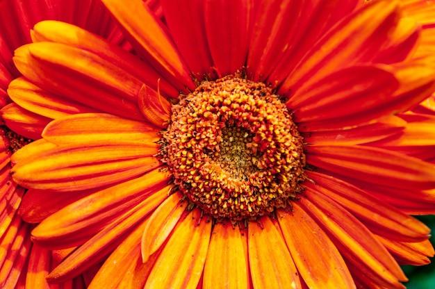 Primer plano de una hermosa flor de margarita barberton de pétalos de naranja