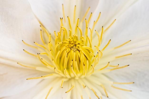 Primer plano de una hermosa flor de melastoma de pétalos blancos