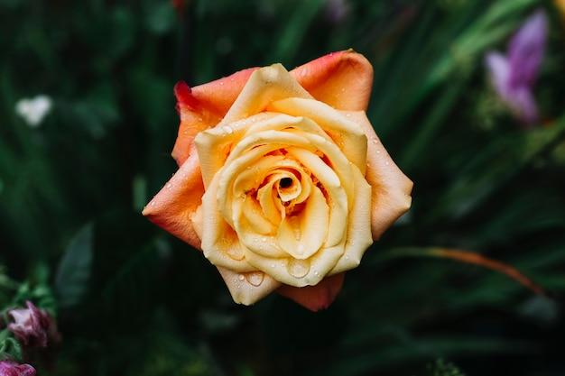 Primer plano de hermosa rosa fresca con gotas de agua