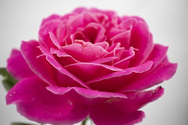 Primer plano de una hermosa rosa rosa con gotas de agua aislado sobre un fondo blanco.