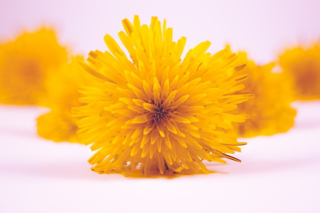 Primer plano de hermosas flores amarillas sobre una superficie blanca