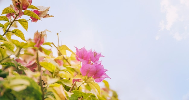 Primer plano de hermosas flores de color rosa buganvillas contra el cielo azul