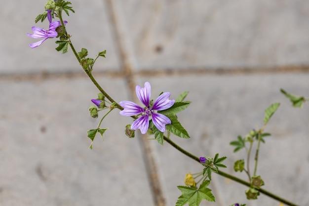 Primer plano de hermosas flores de malva