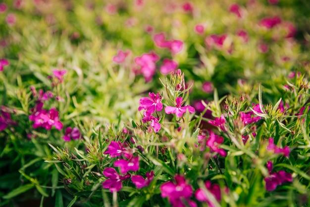Primer plano de hermosas flores rosadas frescas