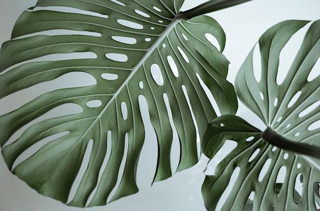 Primer plano de hermosas hojas de monstera naturales con textura.