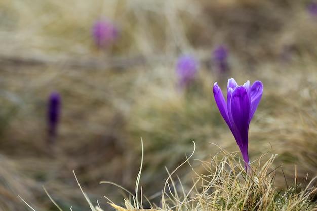 Primer plano de hermosas primeras flores de primavera, azafranes violetas que florecen en las montañas de los cárpatos