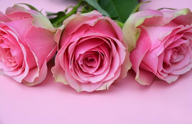 Primer plano de las hermosas rosas rosadas sobre un fondo rosa
