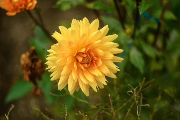 Primer plano hermoso amarillo grande de la dalia en fondo natural