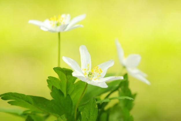 Primer plano, de, hermoso, bosque, flores blancas