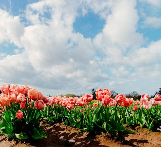 Primer plano de un hermoso campo de un campo de tulipanes de colores brillantes