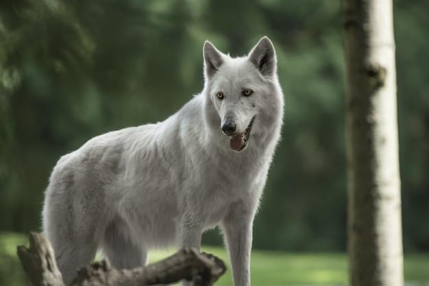 Primer plano de un hermoso lobo de tundra de alaska con un bosque borroso en el fondo