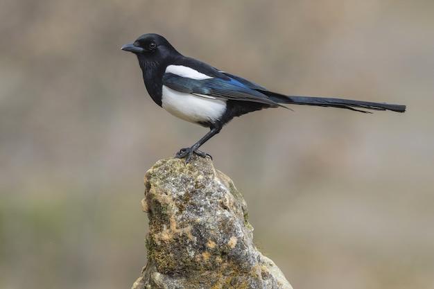 Primer plano de un hermoso pájaro pica pica sobre una roca