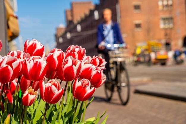 Primer plano de hermosos tulipanes rojos y blancos con una persona en bicicleta en el fondo