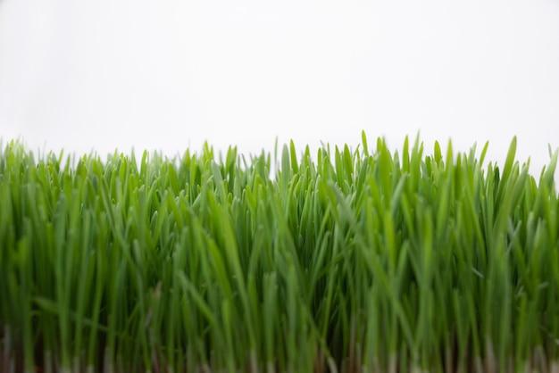 Primer plano de hierba verde sobre un fondo blanco. copie el espacio.