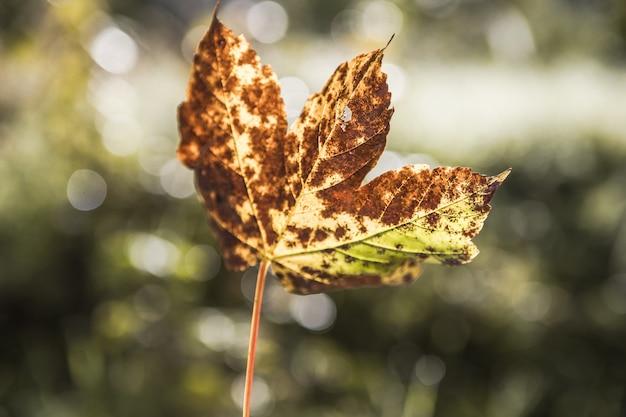 Primer plano de una hoja de arce en otoño de fondo natural. enfoque selectivo.