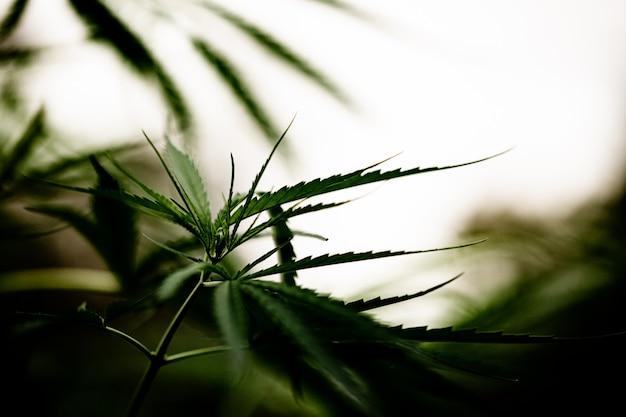 Primer plano de hoja de marihuana cannabis