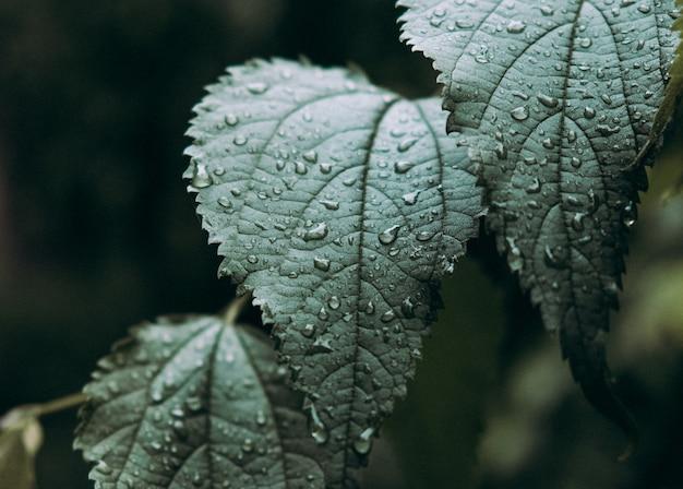 Primer plano de una hoja verde fresca con gotas de lluvia o rocío. follaje después de la lluvia.