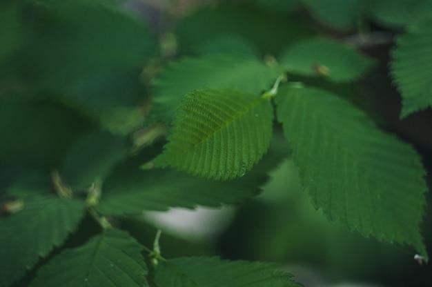 Primer plano de hojas de avellana de primavera