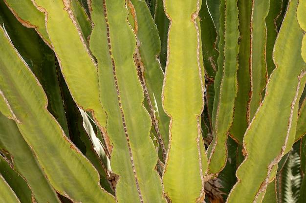 Primer plano de hojas de cactus verde