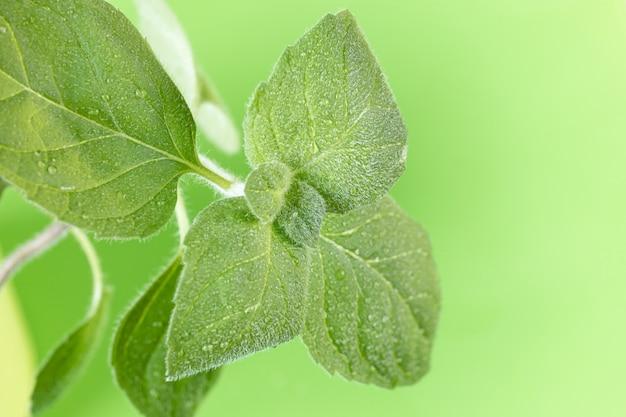 Primer plano de hojas de menta.