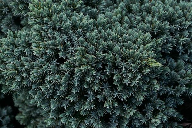 Primer plano de hojas de pino