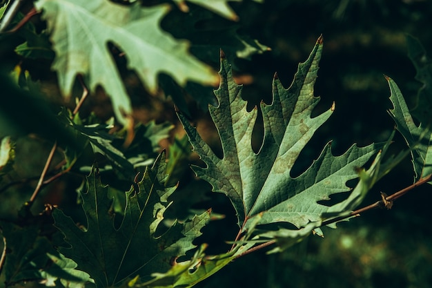 Primer plano de hojas de plátano verde en las ramas de los árboles con luz solar. platanus orientalis, sicomoro del viejo mundo, plano oriental, árbol caducifolio grande con cabeza globosa.