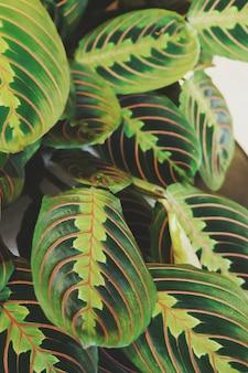 Primer plano de hojas verdes de calathea