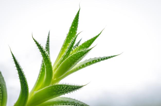 Primer plano de las hojas verdes de una planta de aloe