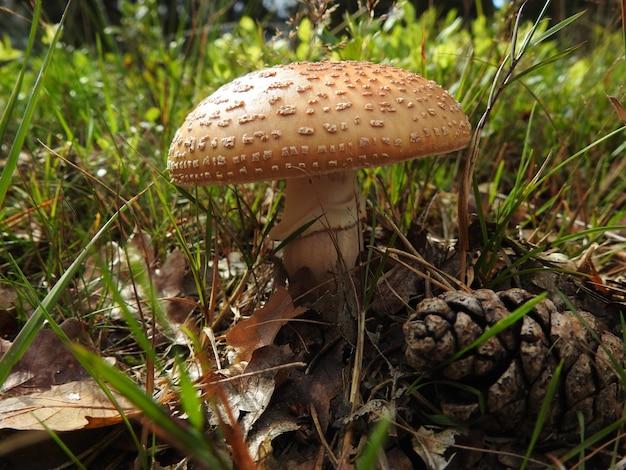 Primer plano de un hongo agárico de mosca marrón sobre el piso del bosque cubierto de hierba
