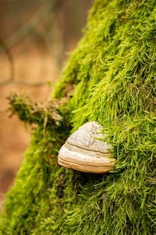 Primer plano de un hongo de yesca en el tronco de un árbol cubierto de musgo