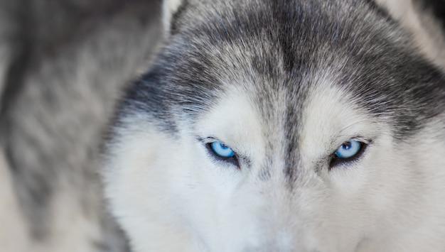 Primer plano de husky precioso