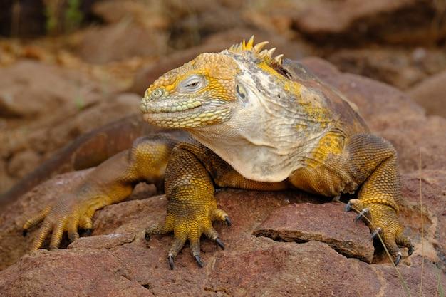 Primer plano de una iguana amarilla sobre una roca mirando hacia la cámara con fondo borroso