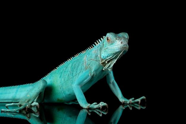Primer plano de la iguana azul en la rama con backgrond negro