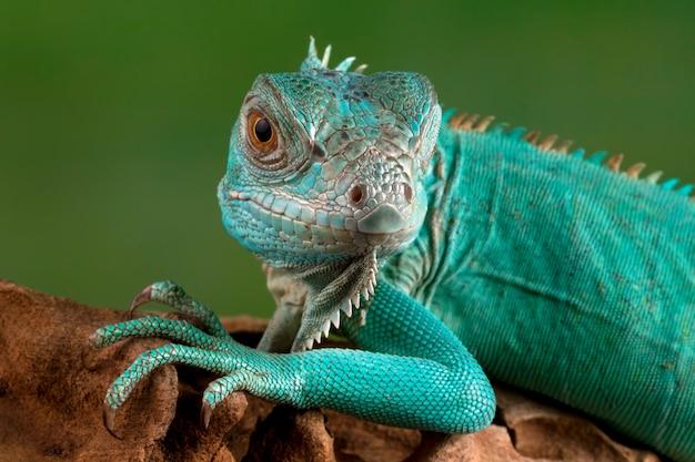 Primer plano de la iguana azul