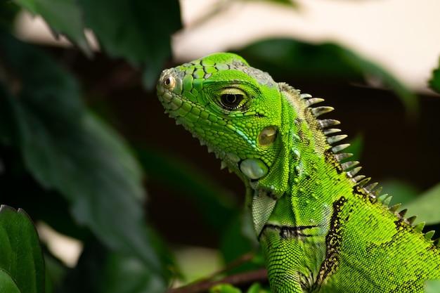Primer plano de una iguana verde con hojas de plantas