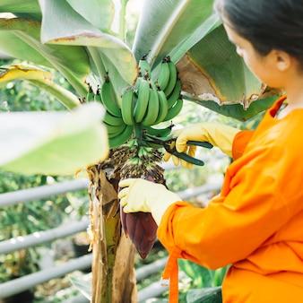 Primer plano de un jardinero cortando racimos de plátanos con tijeras de podar