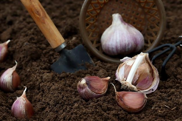Primer plano de jardinero establece ajo en el suelo en el campo.