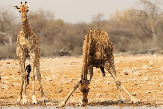 Primer plano de una jirafa de pie junto a la orilla de un río poco profundo y otro agua potable