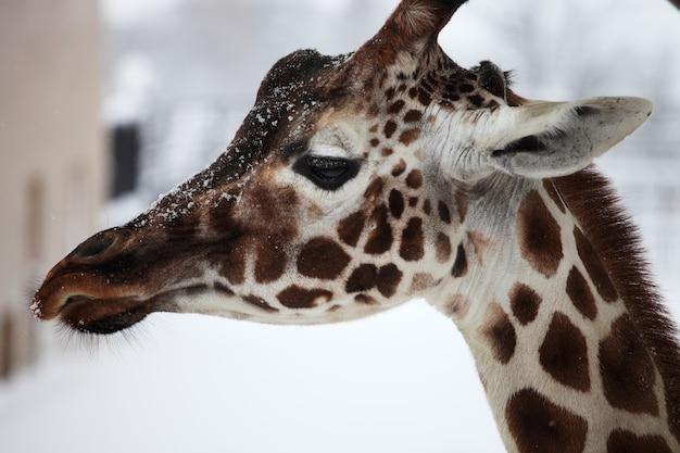Primer plano de una jirafa en un zoológico durante las nevadas en hokkaido en japón