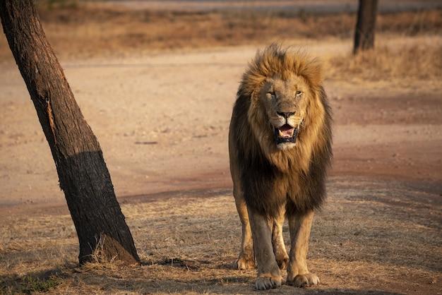 Primer plano de un león en sudáfrica