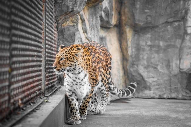 Primer plano del leopardo en el zoológico