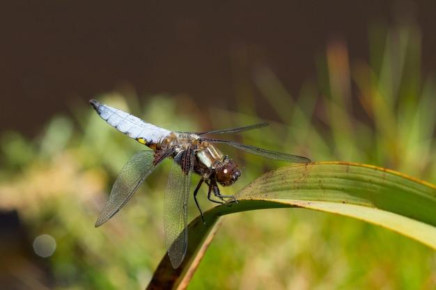 Primer plano de una libélula azul sentada sobre una planta en un jardín capturado durante el día