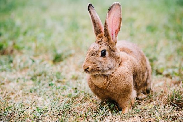 Primer plano de liebre marrón con orejas grandes sentado sobre la hierba