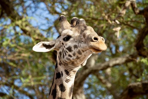Primer plano de una linda jirafa frente a los árboles con hojas verdes
