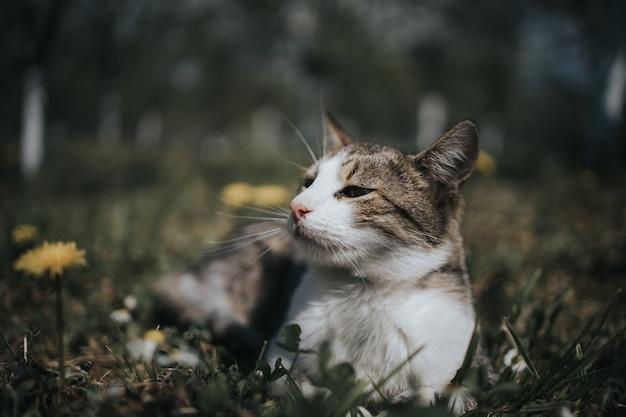 Primer plano de un lindo gato blanco y marrón acostado en un campo