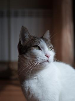 Primer plano de un lindo gato doméstico blanco y gris