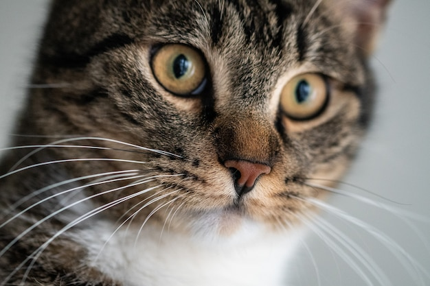 Primer plano de un lindo gato doméstico con fascinantes ojos mirando a la cámara