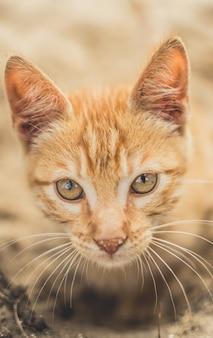 Primer plano de un lindo gato doméstico naranja esponjoso